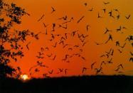 Bat Flight, Carlsbad Caverns, New Mexico